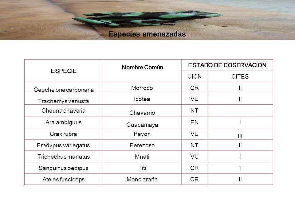 Geochelone carbonaria