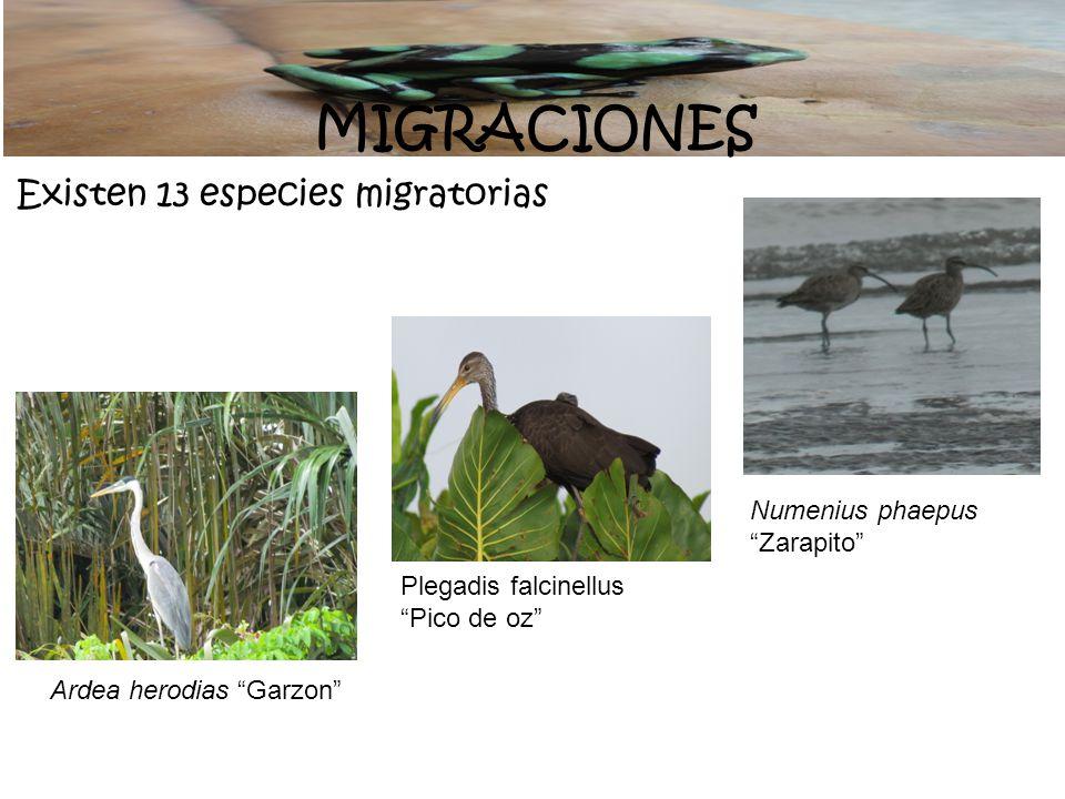 MIGRACIONES Existen 13 especies migratorias Numenius phaepus