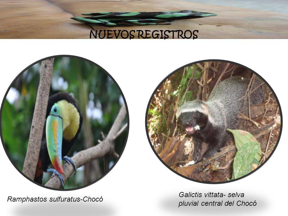 NUEVOS REGISTROS Galictis vittata- selva pluvial central del Chocó