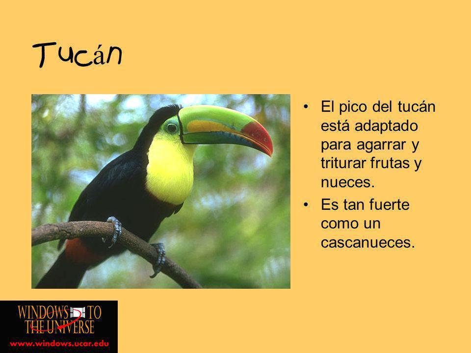 Tucán El pico del tucán está adaptado para agarrar y triturar frutas y nueces.