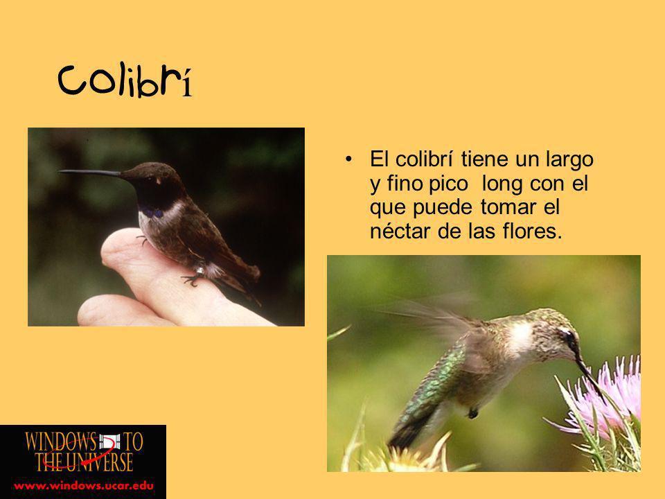 Colibrí El colibrí tiene un largo y fino pico long con el que puede tomar el néctar de las flores.