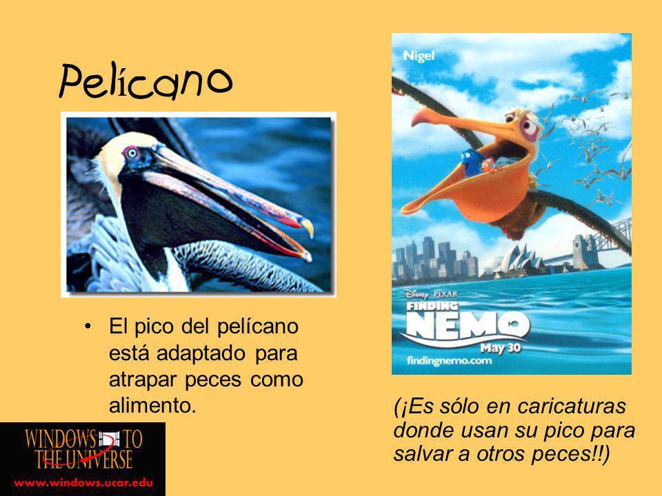PelícanoEl pico del pelícano está adaptado para atrapar peces como alimento.
