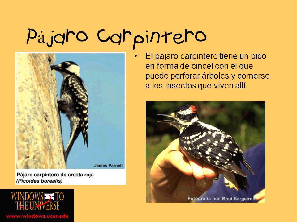 Pájaro CarpinteroEl pájaro carpintero tiene un pico en forma de cincel con el que puede perforar árboles y comerse a los insectos que viven allí.