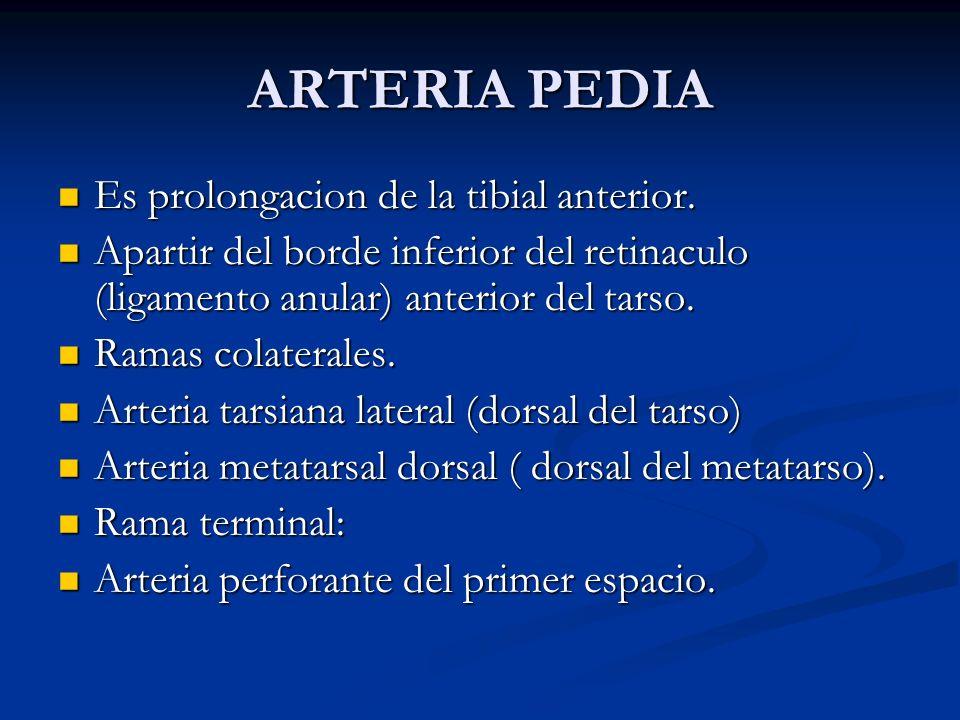ARTERIA PEDIA Es prolongacion de la tibial anterior.