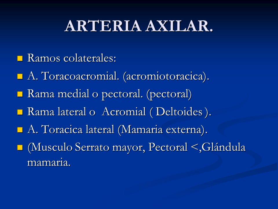 ARTERIA AXILAR. Ramos colaterales: