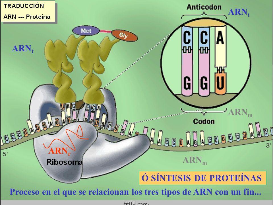 ARNt ARNt. ARNm. ARNr. ARNm. Ó SÍNTESIS DE PROTEÍNAS.