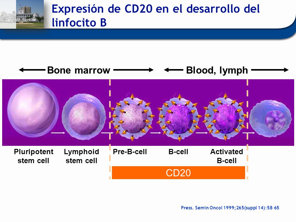 Expresión de CD20 en el desarrollo del linfocito B