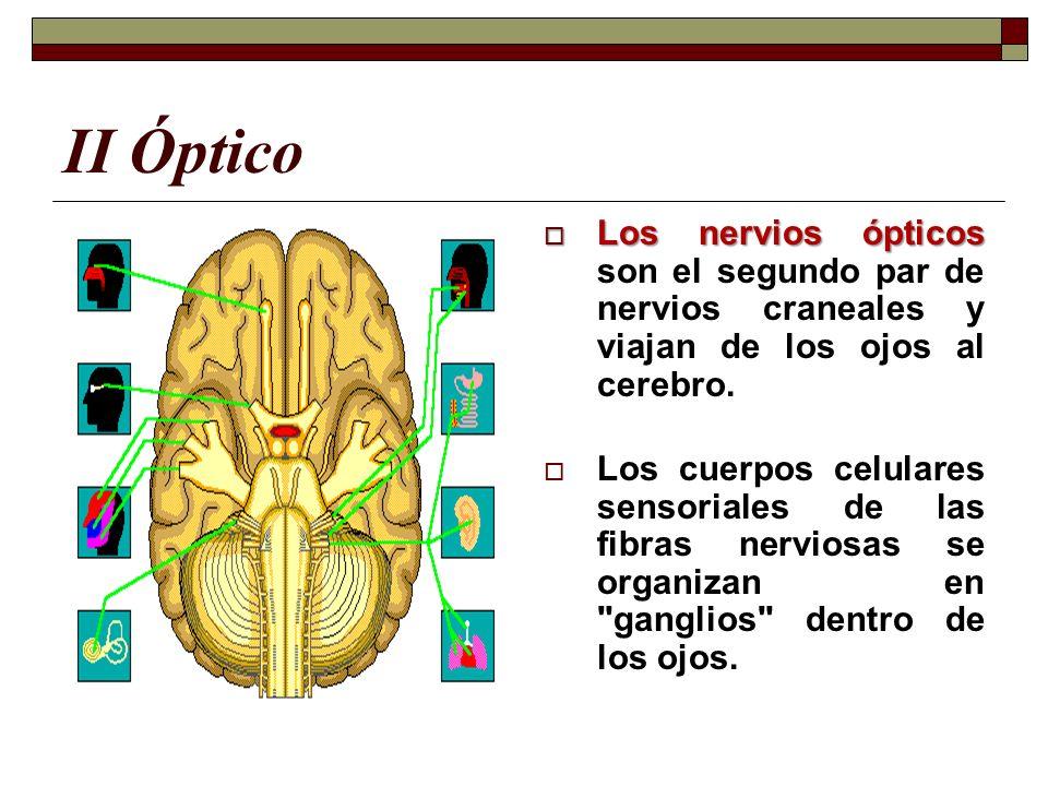 II Óptico Los nervios ópticos son el segundo par de nervios craneales y viajan de los ojos al cerebro.