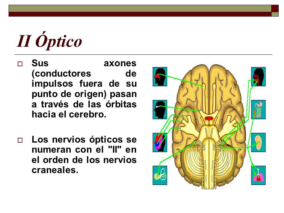 II Óptico Sus axones (conductores de impulsos fuera de su punto de origen) pasan a través de las órbitas hacia el cerebro.