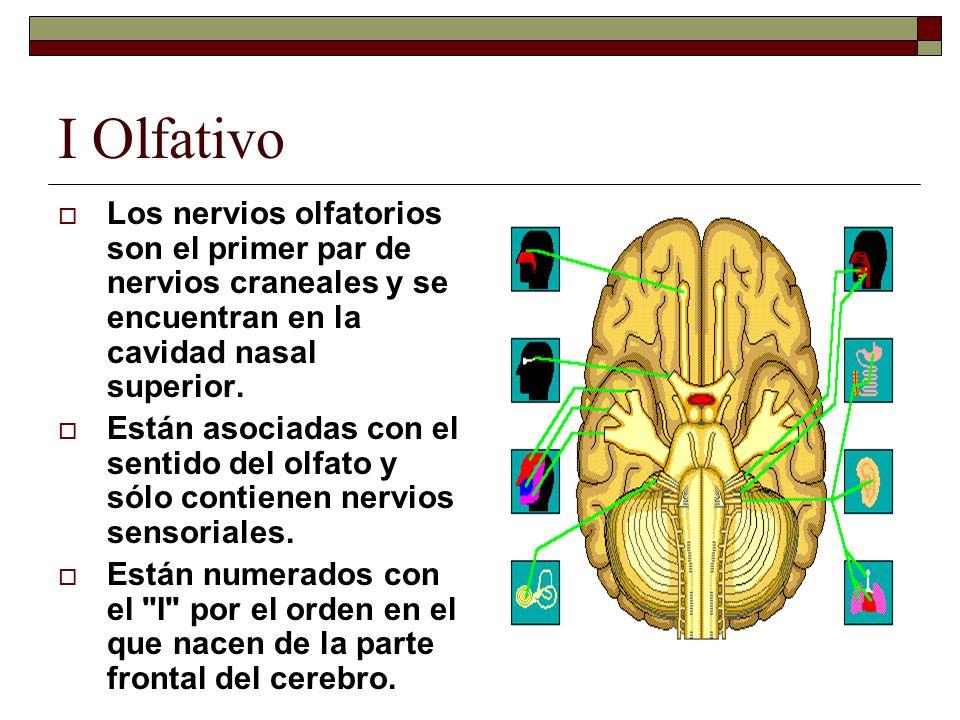 I Olfativo Los nervios olfatorios son el primer par de nervios craneales y se encuentran en la cavidad nasal superior.