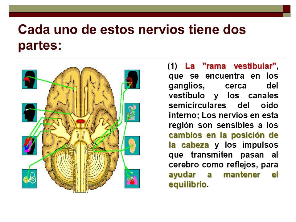 Cada uno de estos nervios tiene dos partes: