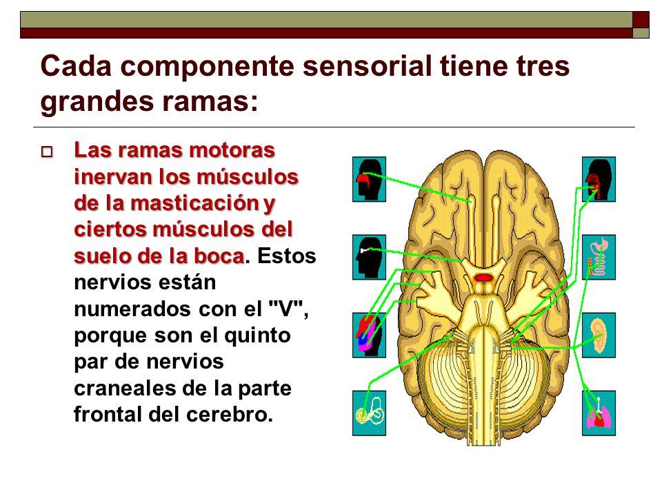 Cada componente sensorial tiene tres grandes ramas: