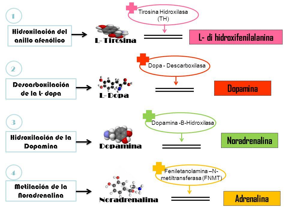 L- di hidroxifenilalanina