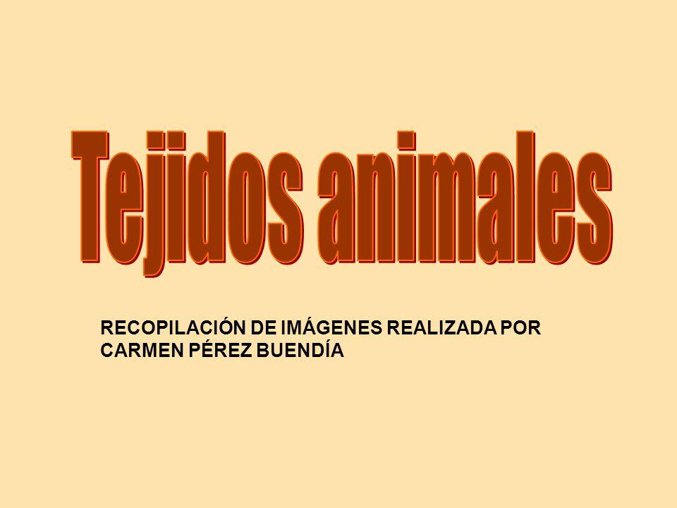 Tejidos animales RECOPILACIÓN DE IMÁGENES REALIZADA POR CARMEN PÉREZ BUENDÍA