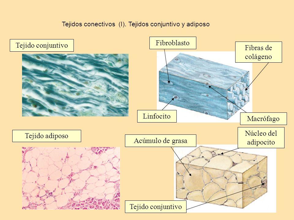Fibroblasto Tejido conjuntivo Fibras de colágeno Linfocito Macrófago