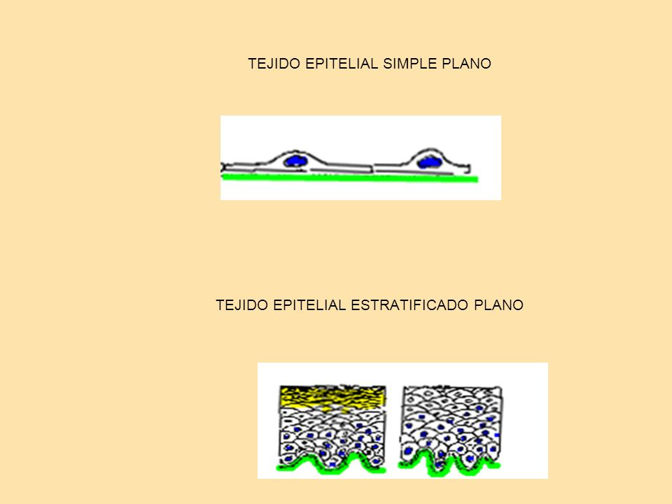 TEJIDO EPITELIAL SIMPLE PLANO