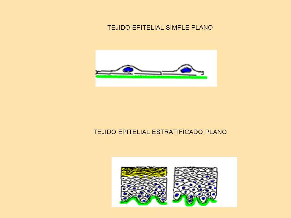 TEJIDO EPITELIAL SIMPLE PLANO