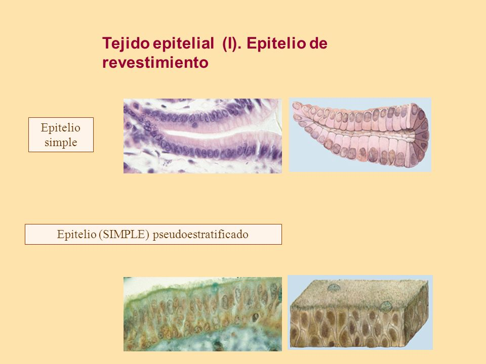 Epitelio (SIMPLE) pseudoestratificado