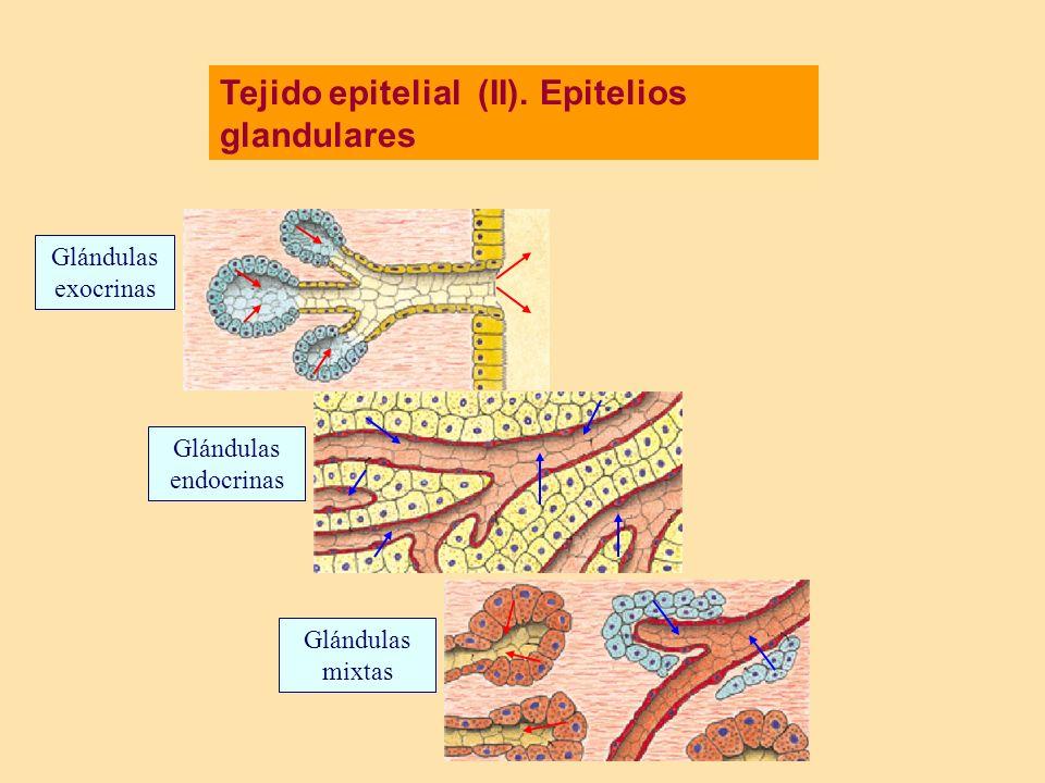 Tejido epitelial (II). Epitelios glandulares