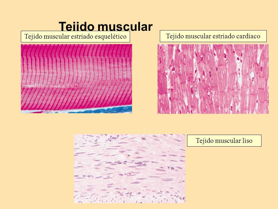 Tejido muscular Tejido muscular estriado esquelético