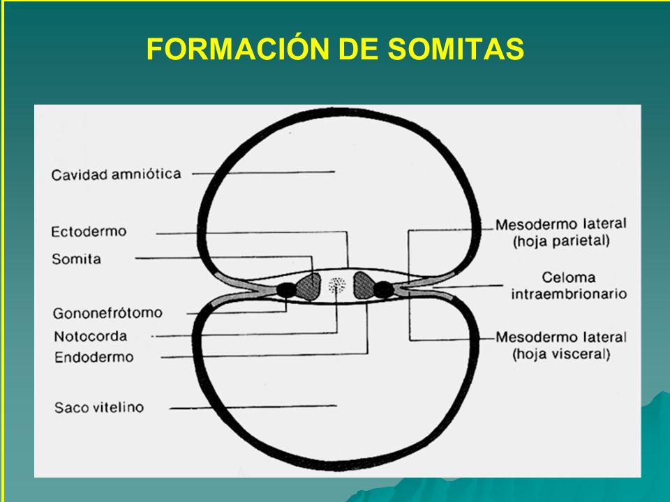 FORMACIÓN DE SOMITAS