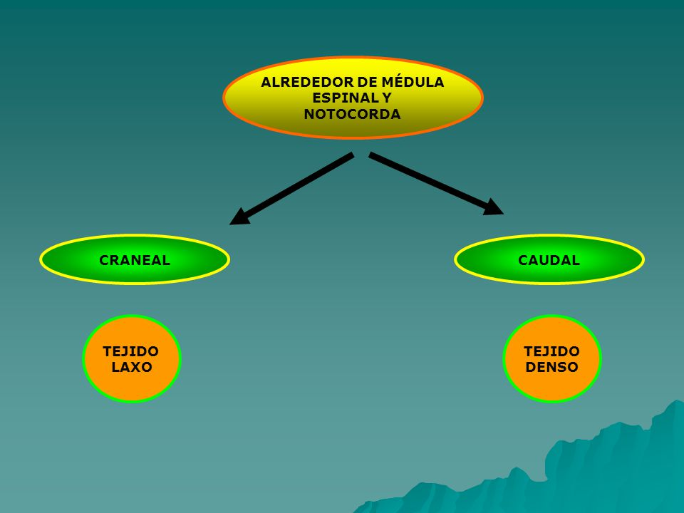 ALREDEDOR DE MÉDULA ESPINAL Y NOTOCORDA CRANEAL CAUDAL TEJIDO LAXO TEJIDO DENSO