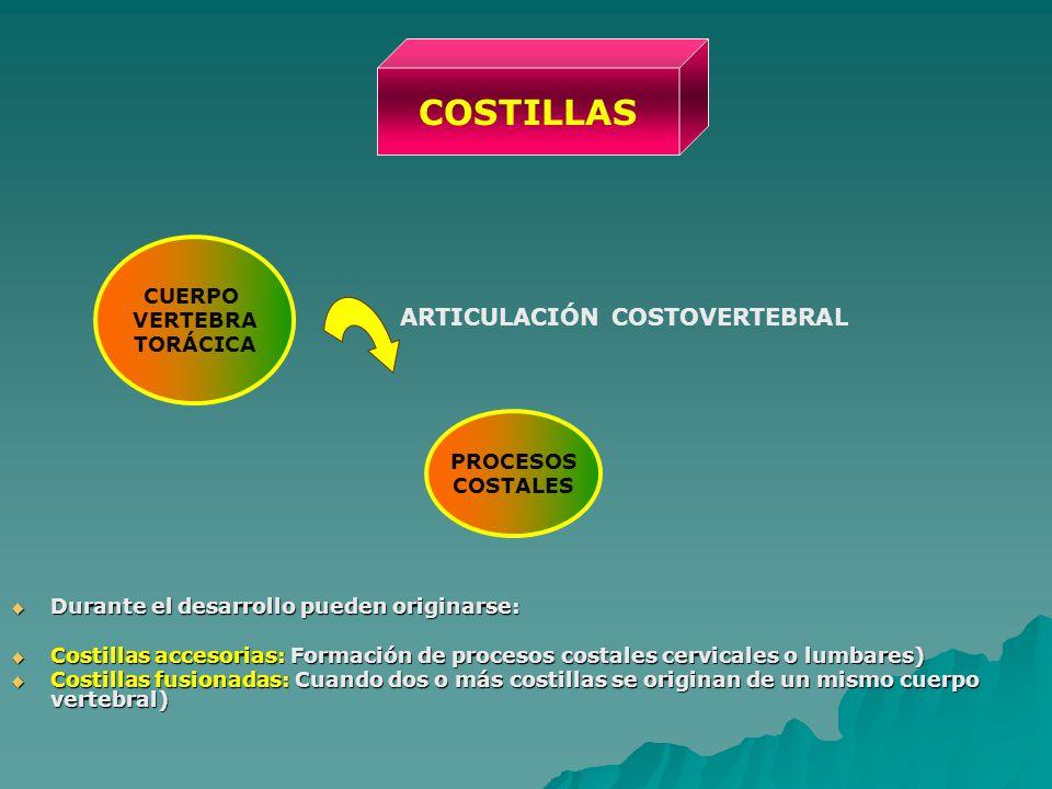 COSTILLAS ARTICULACIÓN COSTOVERTEBRAL CUERPO VERTEBRA TORÁCICA