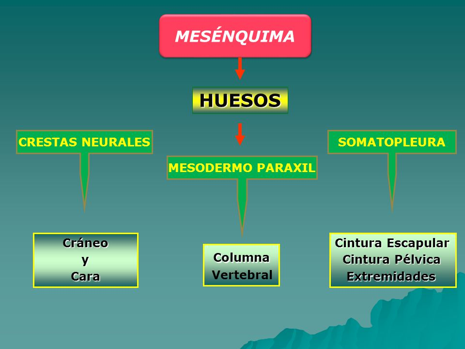 HUESOS MESÉNQUIMA Columna CRESTAS NEURALES SOMATOPLEURA