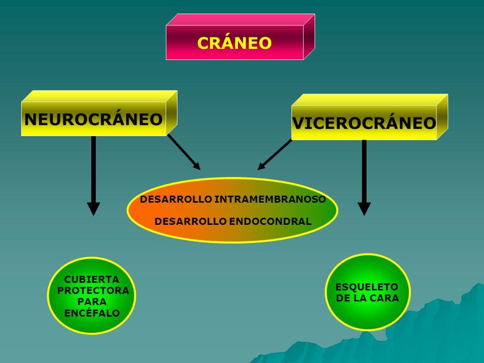 DESARROLLO INTRAMEMBRANOSO DESARROLLO ENDOCONDRAL