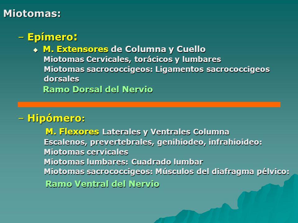 M. Flexores Laterales y Ventrales Columna