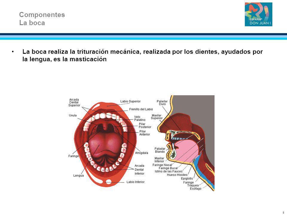 ComponentesLa boca. La boca realiza la trituración mecánica, realizada por los dientes, ayudados por la lengua, es la masticación.
