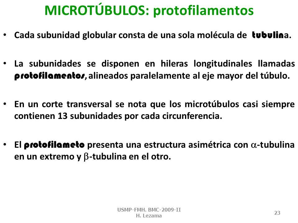 MICROTÚBULOS: protofilamentos