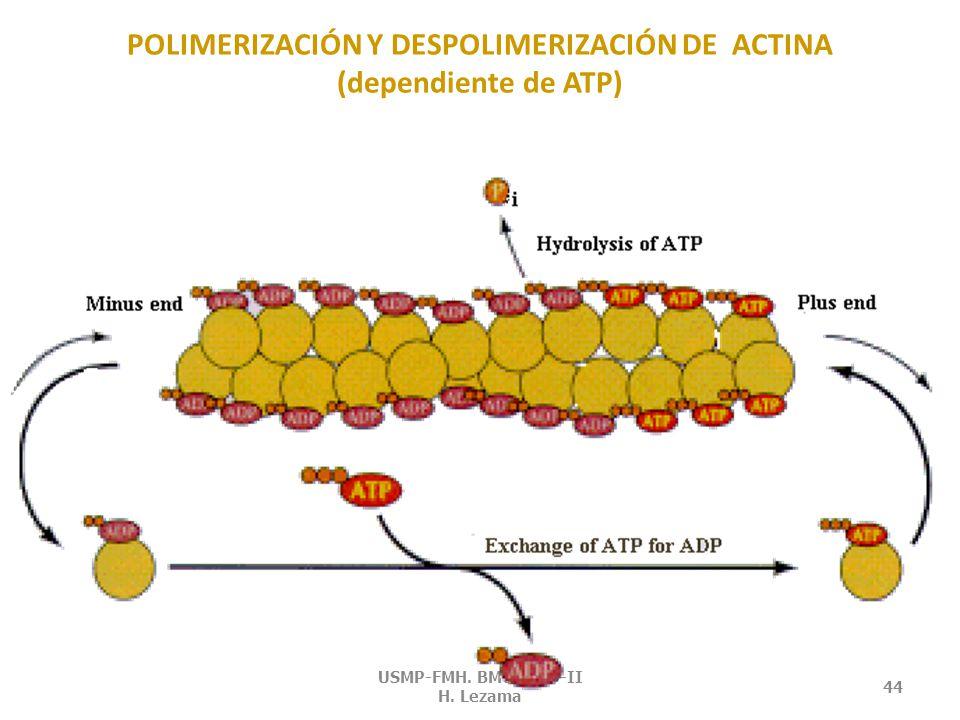 POLIMERIZACIÓN Y DESPOLIMERIZACIÓN DE ACTINA (dependiente de ATP)