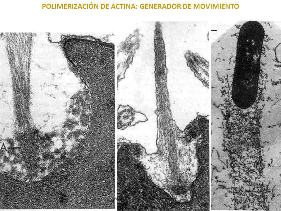 POLIMERIZACIÓN DE ACTINA: GENERADOR DE MOVIMIENTO