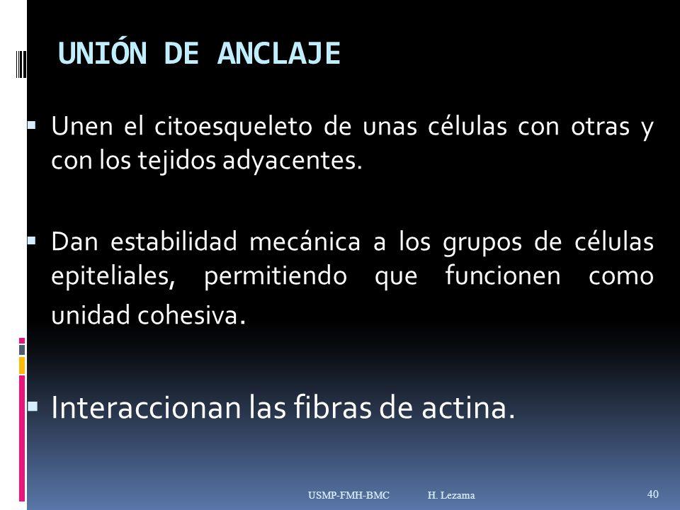 Interaccionan las fibras de actina.