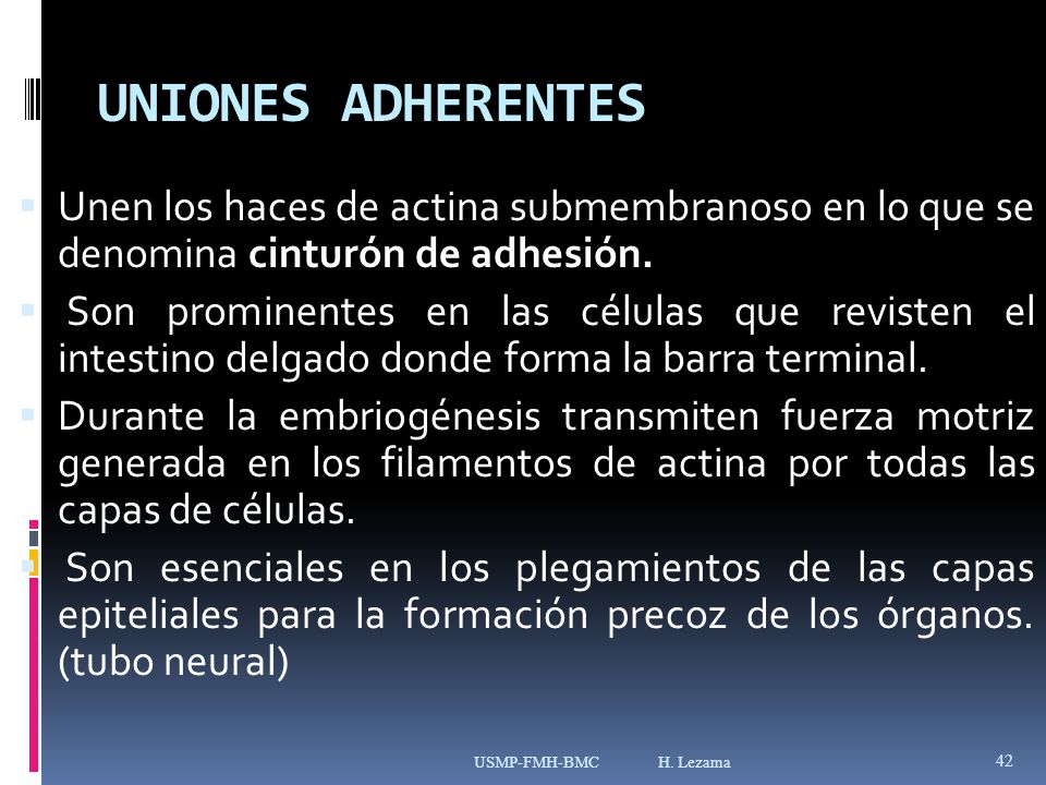 UNIONES ADHERENTES Unen los haces de actina submembranoso en lo que se denomina cinturón de adhesión.