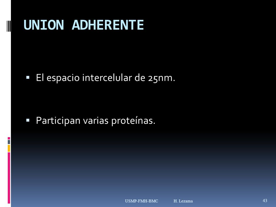UNION ADHERENTE El espacio intercelular de 25nm.