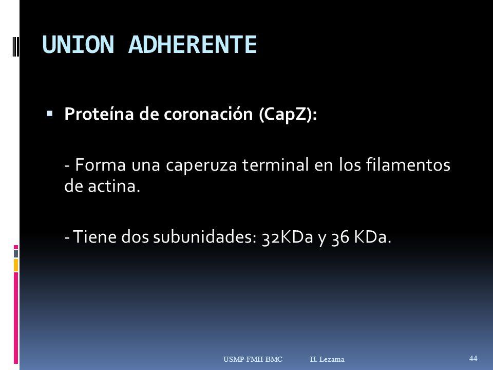 UNION ADHERENTE Proteína de coronación (CapZ):