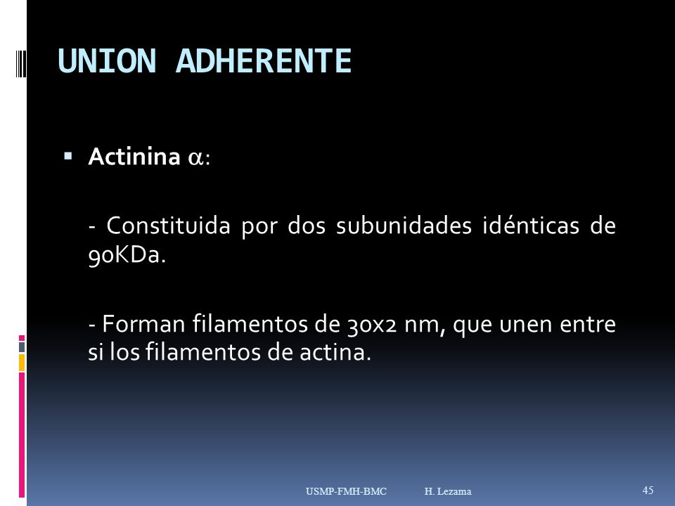 UNION ADHERENTE Actinina :