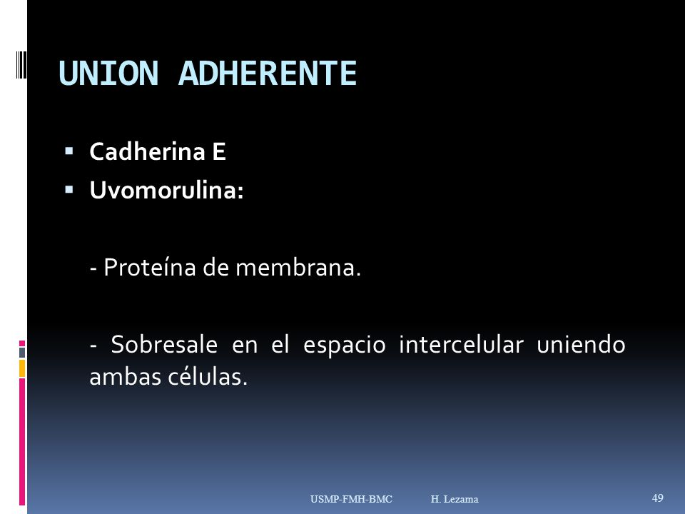 UNION ADHERENTE Cadherina E Uvomorulina: - Proteína de membrana.