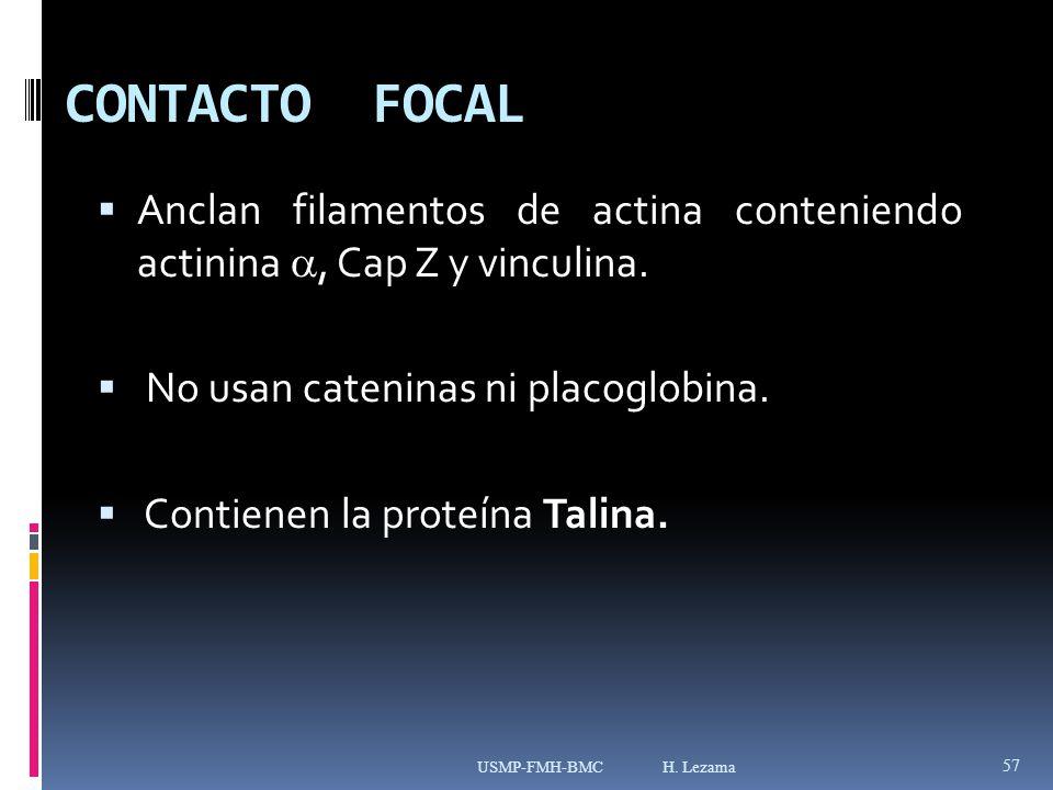 CONTACTO FOCAL Anclan filamentos de actina conteniendo actinina , Cap Z y vinculina. No usan cateninas ni placoglobina.