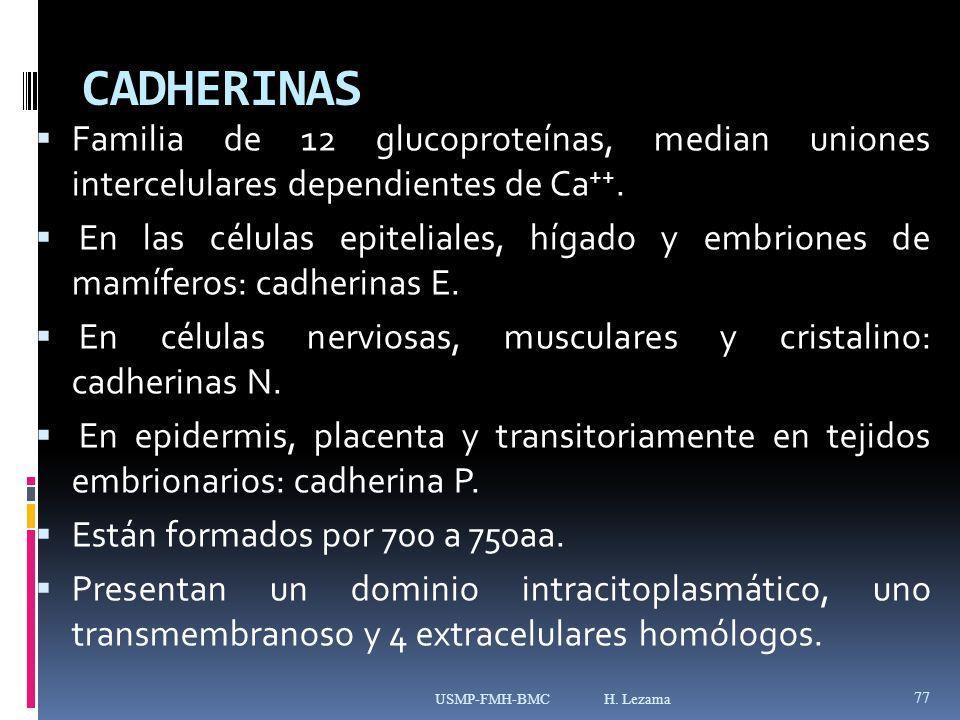 CADHERINAS Familia de 12 glucoproteínas, median uniones intercelulares dependientes de Ca++.