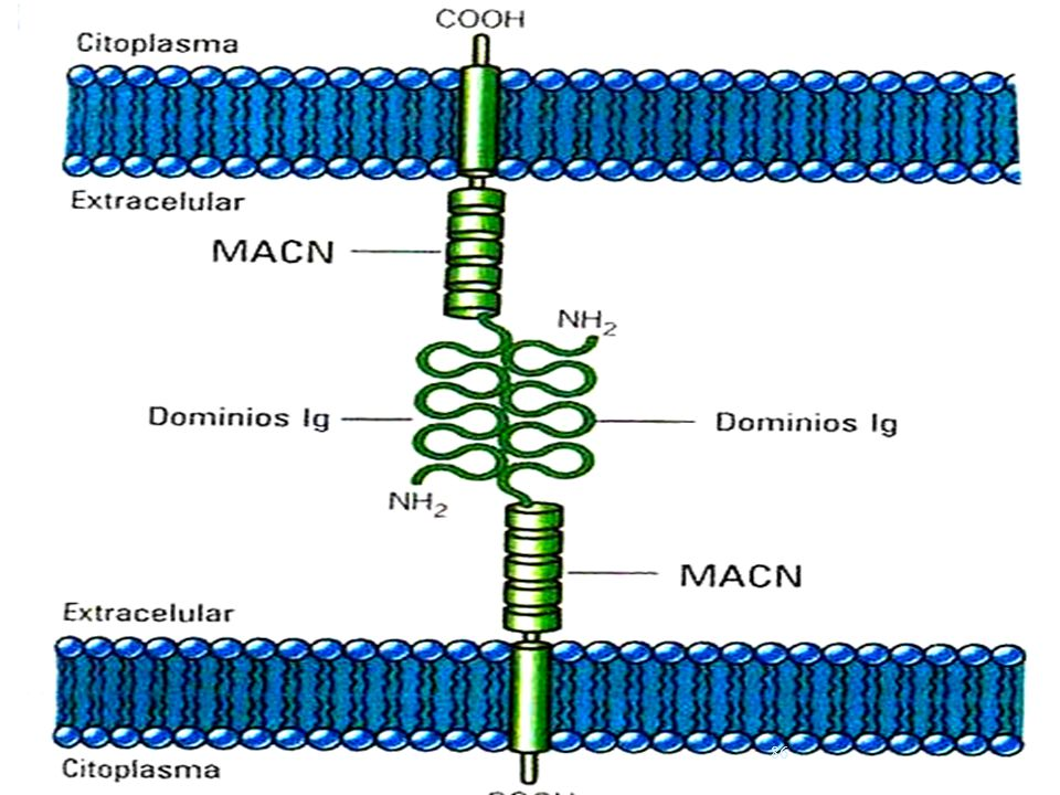 USMP-FMH-BMC H. Lezama
