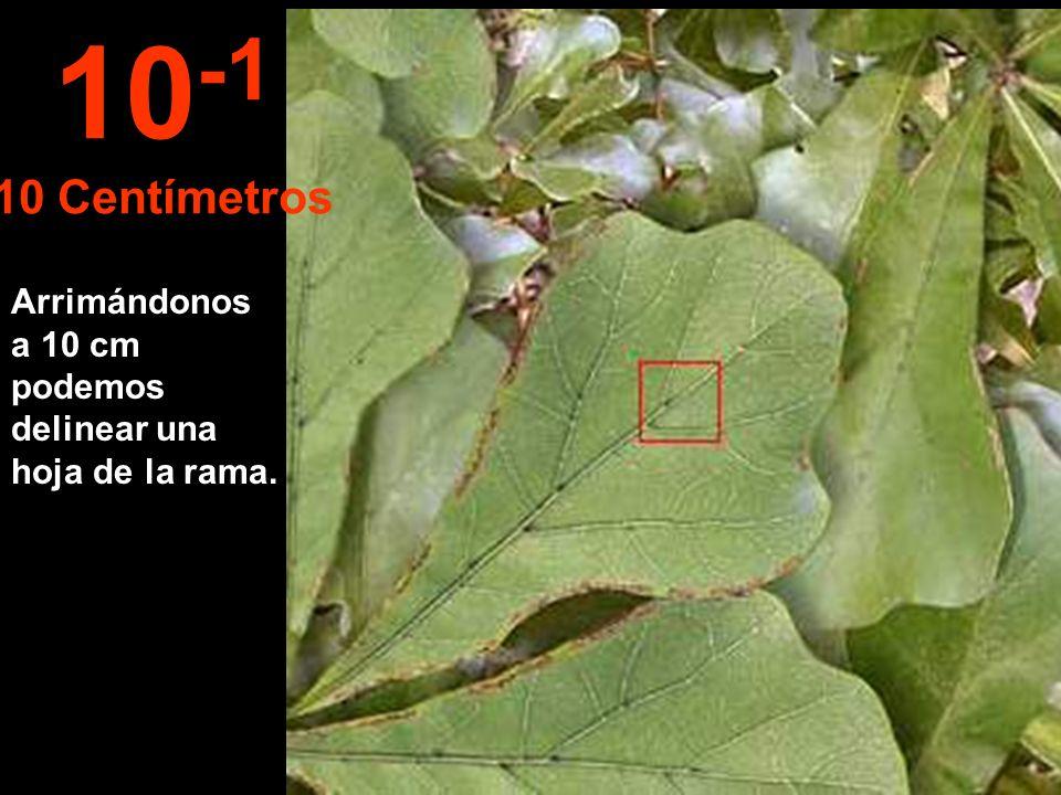 10-1 10 Centímetros Arrimándonos a 10 cm podemos delinear una hoja de la rama.