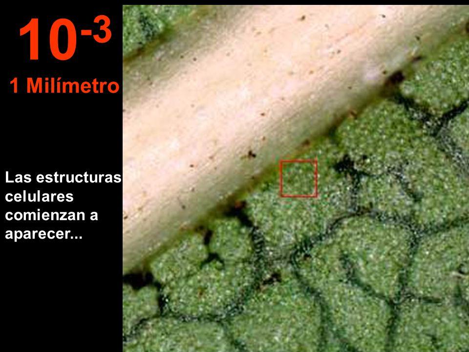 10-3 1 Milímetro Las estructuras celulares comienzan a aparecer...