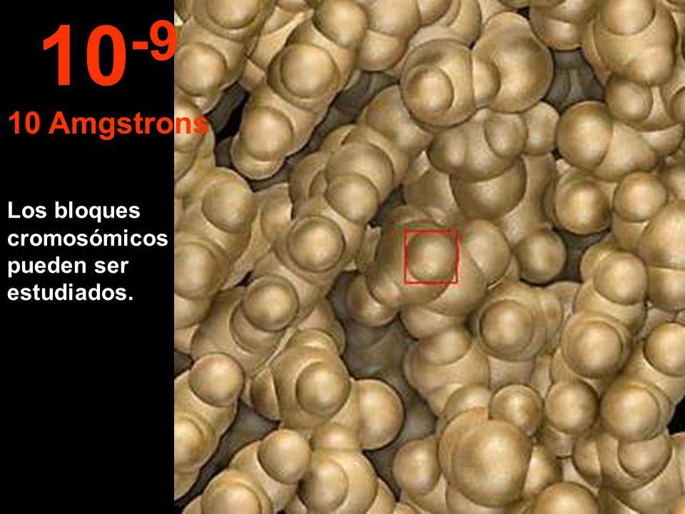 10-9 10 Amgstrons Los bloques cromosómicos pueden ser estudiados.