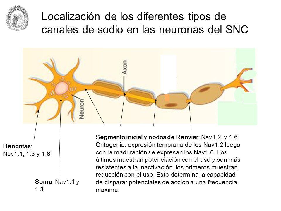 Localización de los diferentes tipos de canales de sodio en las neuronas del SNC