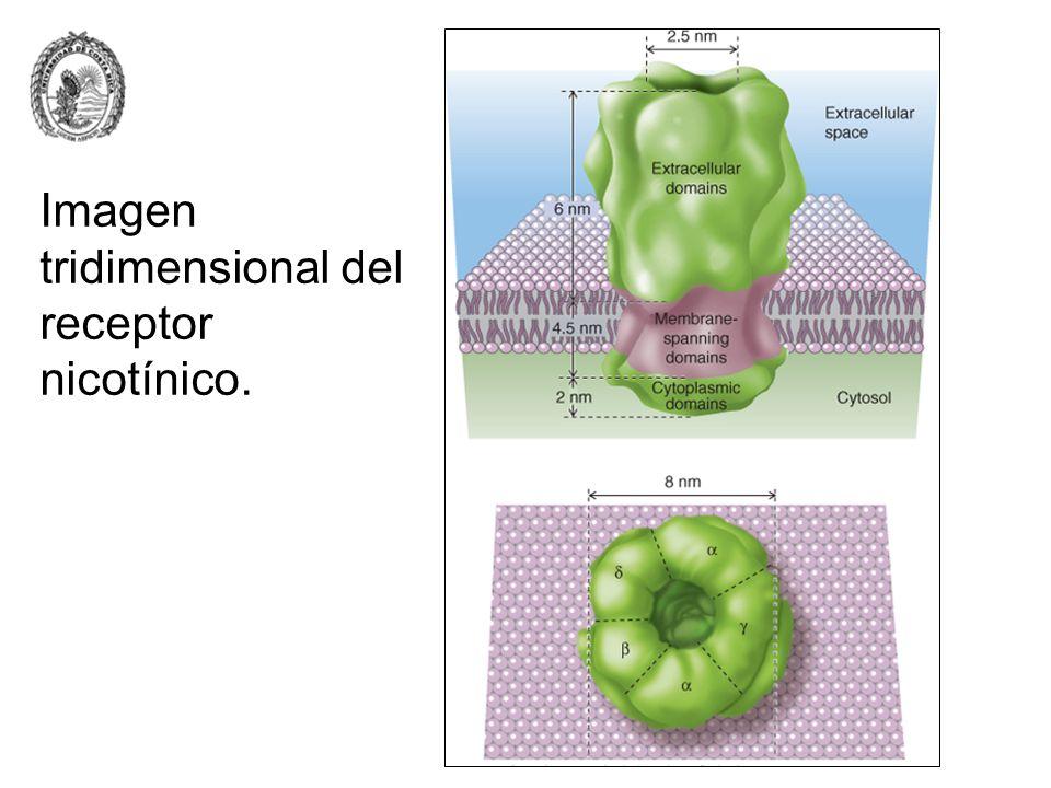 Imagen tridimensional del receptor nicotínico.