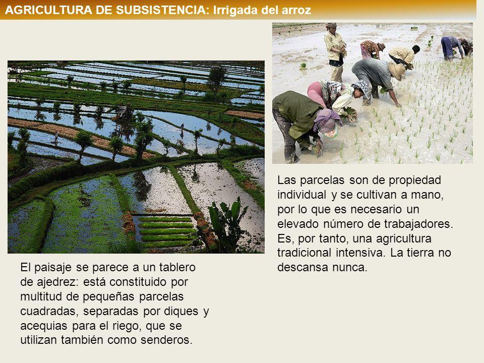 AGRICULTURA DE SUBSISTENCIA: Irrigada del arroz