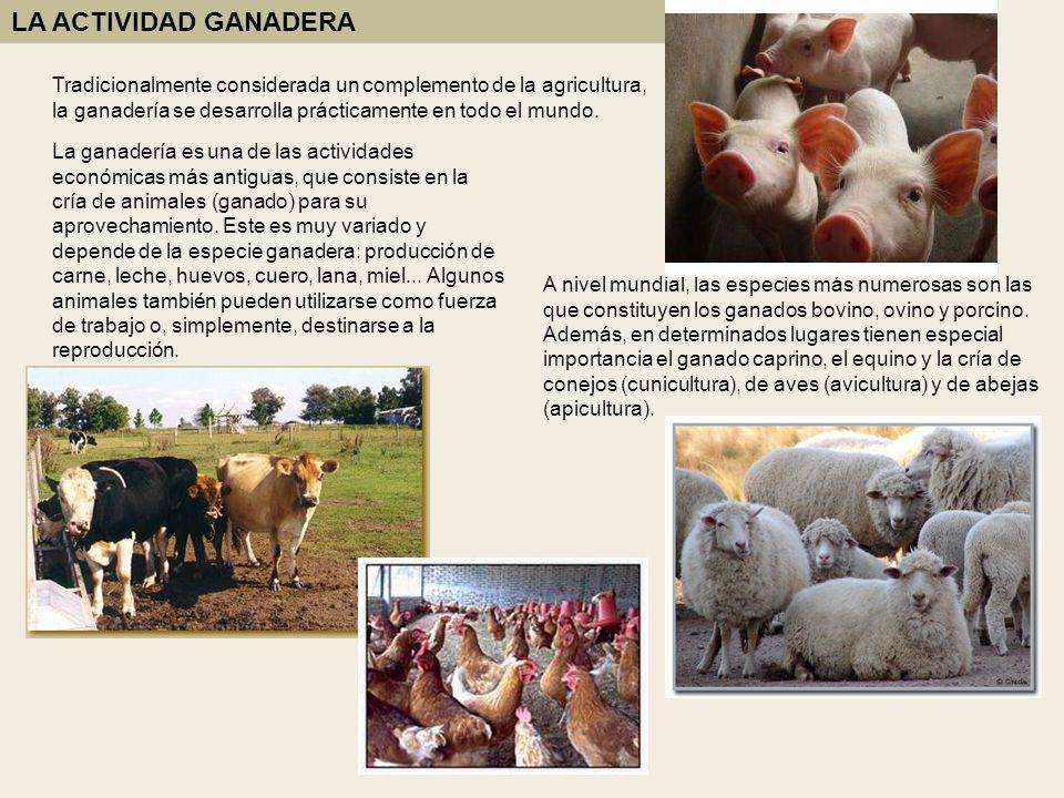 LA ACTIVIDAD GANADERA Tradicionalmente considerada un complemento de la agricultura, la ganadería se desarrolla prácticamente en todo el mundo.